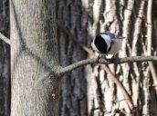 blackcapped chickadee RHL