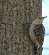 Redbellied Woodpecker RHL