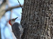 redbellied woodpecker RHL2