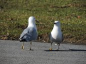ringbilled gulls lake