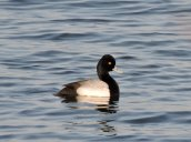 Scaup Brietbeck Park