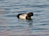 Scaup Brietbeck Park2