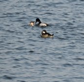 scaups Brietbeck park