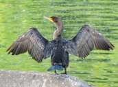 cormorant Oswego River Oswego