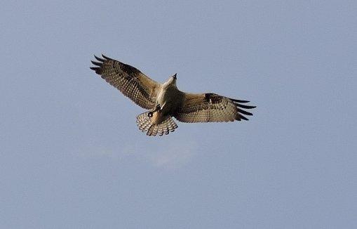 flying osprey rt 57