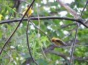 goldfinches Lake Neatahwanta