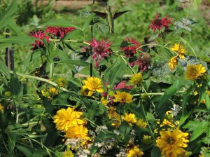 ruby-throated hummingbird red bee balm garden flowers