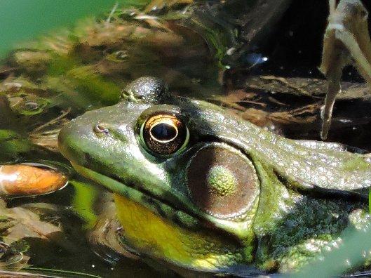 bullfrog at Granby