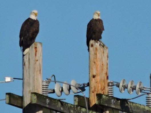 bald-eagles-oswego-river-fulton