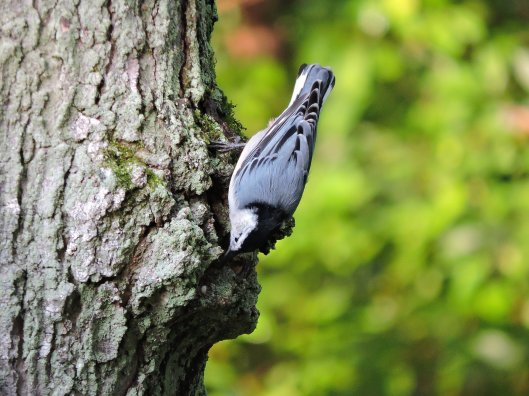 white-breasted-nuthatch-north-bay