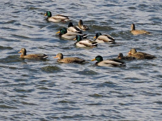 mallard-ducks-oswego-river-fulton-rs